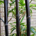 縁起のいいクロチク(黒竹)